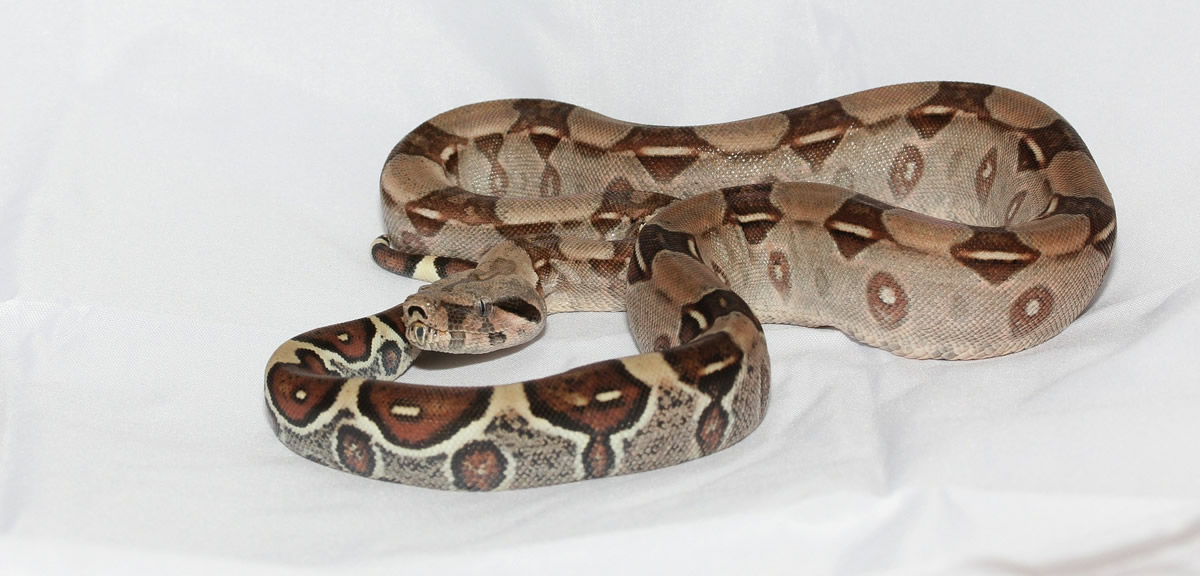 Red tail boa constrictor (Boa Constrictor Imperator) - Red